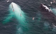 Willow the white whale swims next to a normal coloured whale off the coast of Spitsbergen, Norway.