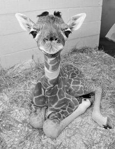 mała żyrafa black&white :) #sweet