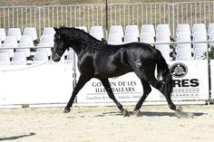 Menorquín stallion Utopa TB
