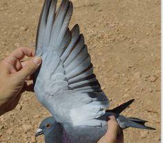 Problemas con la muda de las palomas - Colombofilia