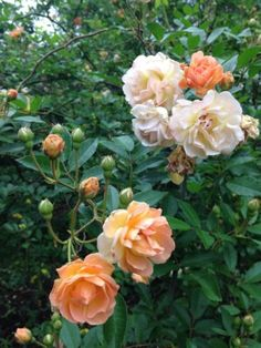 6-Unrooted-Cuttings-From-Rare-Hybrid-Musk-Rose-Ghislaine-De-Feligonde