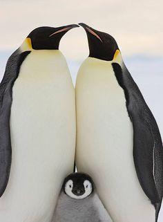 Familia de Pingüinos imperiales