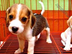 Beagle Female Puppy with Complete Papers Beagle, Corgi, Cars And Motorcycles, Philippines, Puppies, Pets, Animals, Animals And Pets, Animales
