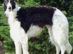 borzoi dog photo | Borzoi puppies2 150x150 Borzoi Dog Puppy