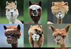 Llama hairdos. just tooo funny. lmao looks lk they al have personalities :p