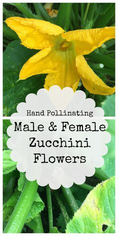How to distinguish and hand pollinate male and female zucchini plants. It is sometimes necessary if pollination isn't happening in your garden due to lack of bees.