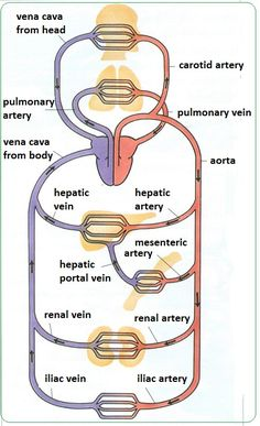 There are 3 main kinds of blood vessels – arteries, veins and capillaries. Arteries carry blood away from the heart. They divide ...