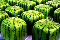Square watermelons. Japan
