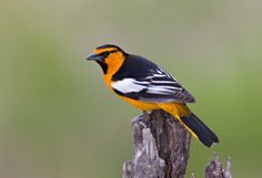 Bullock's Oriole (Icterus bullockii) - this is one is Baltimore Oriole (the other kinds are Bullock's and Scott's=black+yellow and rounder under chest; Hooded Oriole; orchard oriole; streak-backed)