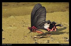 Tailed Red-breast: Papilio bootes; by Vidya Venkatesh