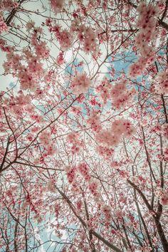 plasmatics:  Sakura sky [via/more] By Ryusuke Komori