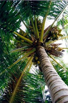 Coconut Tree - Crazy for coconuts. Tropical Vibes, Tropical Paradise, Tropical Heat, Paradis Tropical, Island Beach, Island Girl, Photos Voyages, Tropical Fruits, Paradise Island