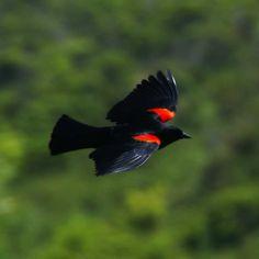 Merlo dalle Ali Rosse (Agelaius phoeniceus) in volo #merlo #uccello