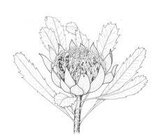 waratah - Google Search Australian Wildflowers, Australian Flowers, Wild Flowers, Dandelion, Google Search, Plants, Wildflowers, Dandelions, Plant
