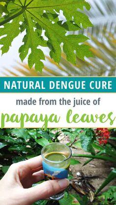 How to make papaya leaf juice cure for Dengue and Chikungunya
