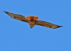 All time favorite. File:Red Tailed Hawk in Flight (5837094392).jpg - Wikimedia Commons