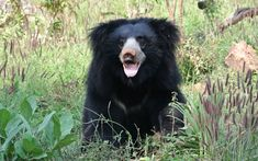 Victory! Last Known 'Dancing Bears' Rescued From Nepal