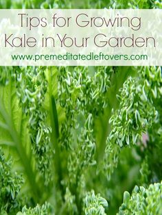 Tips for growing kale in your garden #kale #gardening #dan330 http://livedan330.com/2015/03/30/tips-for-growing-kale-in-your-garden/