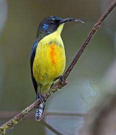 Lina's Sunbird, Aethopyga linaraborae: endemic to Mindanao