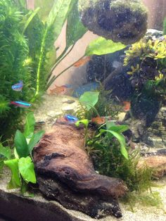 Neon and Ember Tetras