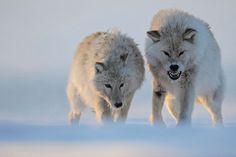 Les inuits l'appellent le fantôme de la toundra... loup blanc arctique par Vincent Munier