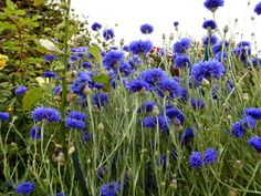 https://flic.kr/p/Hgn2oY | Centaurea cyanus  'Blue Diadem'