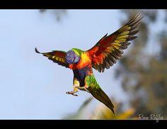 Rainbow Lorikeet flying by Rosie Ruffles, via Flickr