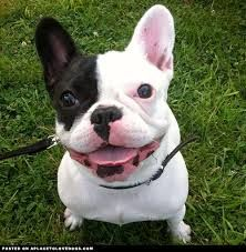 frenchie puppies - Google Search