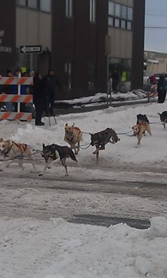 Dogsled race downtown anchorage