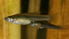 Gila topminnows. Photo © Bruce Taubert, courtesy of Arizona Game and Fish Department