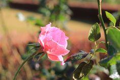 Pink rose, Shinjyuku garden | by Yasuz