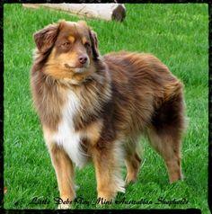 Dogs - mini Aussie