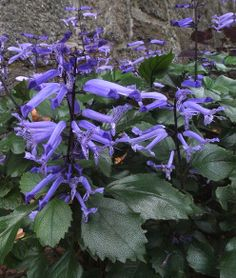 Plectranthus 'Mona Lavender', sun, partial sun, summer annual  Not hardy below zone 9 but can be over wintered inside