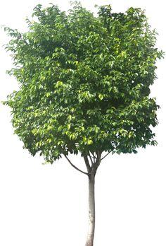 Landscape Architecture, Landscape Design, Tree Cut Out, Tree Photoshop, Tree Sketches, Garden Illustration, Tree Shop, Tree Images, Ornamental Plants