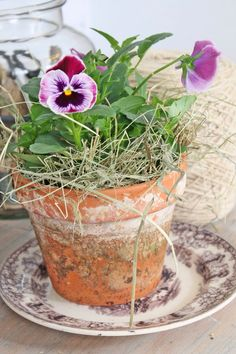 pansies in terracotta pot