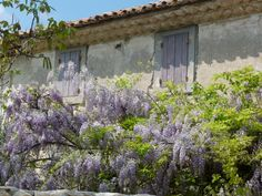 .smothered in what I think is wisteria