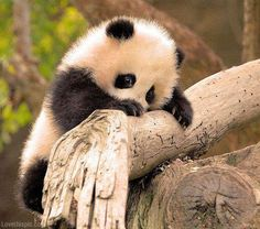I can't wait to have my own baby panda bear in the paradise! I'm looking forward to meeting Lil Johnny!!