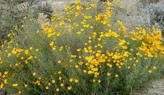 Tagetes lemmonii/palmeri. Mountain/Mt. Lemmon marigold. Native, usually evergreen (may freeze to ground in winter) shrub. Extremely fragrant foliage. Fall flowers attract butterflies. Rabbit/deer resistant. Full sun/part shade. Fast/moderate grower.