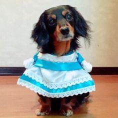 着せ替え①メイド風コスプレ👗💓 #ジャスミン #jasmine #犬 #愛犬 #ダックスフンド #ミニチュアダックス #dachshund #minituredachshund #短足 #ブラックタン #ブラタン #13歳 #シニア犬 #コスプレ #メイド #手作り