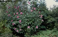 Rose of Sharon, Shrub Althea (Hibiscus syriacus ) - Selecting Shrubs for Your Home - University of Illinois Extension