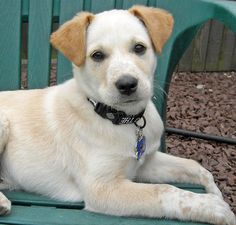 Australian Cattle Dog Lab Mix Puppy Lab Mix Puppies Cattle