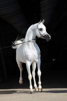 Equus Arabians Spain  » Shanghai E.A.
