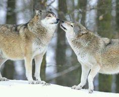 Two grey wolves on a winter day Husky, She Wolf, Spirit Animal, Animal Kingdom, Creatures, Wolfdog, Grey Wolves, Ravens, Winter