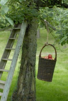Harvest...apple pickin' time...old ladder in the tree & old wicker basket with...apples.