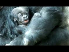 """""""I want to play with baby. Silverback Gorilla, Baby Gorillas, Overcome The World, Baby Play, His Eyes, Little Babies, Monkey, Things I Want, Sisters"""