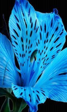 a blue tiger lily i think
