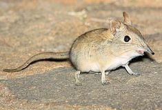 LITTLE FIVE:    Eastern rock elephant shrew. Elephant in name if not in size.  Photograph Warwick Tarboten