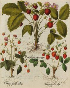 botanische zeichnungen wilde erdbeeren - Google Search