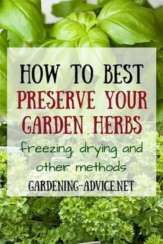 Freezing Herbs And Other Methods Of Preserving Herbs Freezing Herbs is probably the easiest way of preserving surplus but this method is not suitable for all culinary herbs. Learn how to freeze herbs and other methods like drying or marinating. Healing Herbs, Medicinal Herbs, Herbal Plants, Organic Gardening, Gardening Tips, Vegetable Gardening, Kitchen Gardening, Gardening Books, Organic Herbs