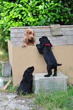 Cockerspaniel, Pet Photos, English Cocker, Adorable Puppies, Spaniels, Schnauzer, Life Is Beautiful, Doggies, Dog Breeds
